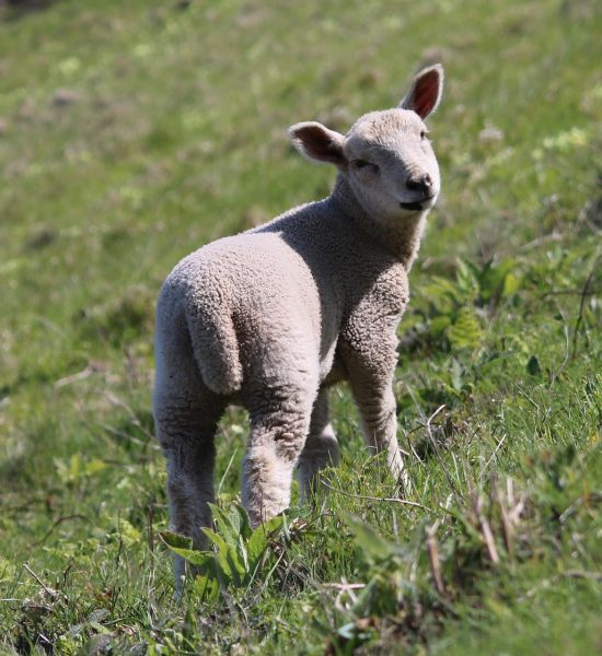 A chilver is a female lamb
